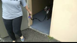 A Pit Bull Learns To Wait At The Front Door - Reno Dog Training - Katz Trains Dogs