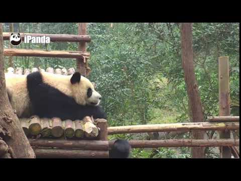 Giant panda punches another panda hardly off the boxing ring