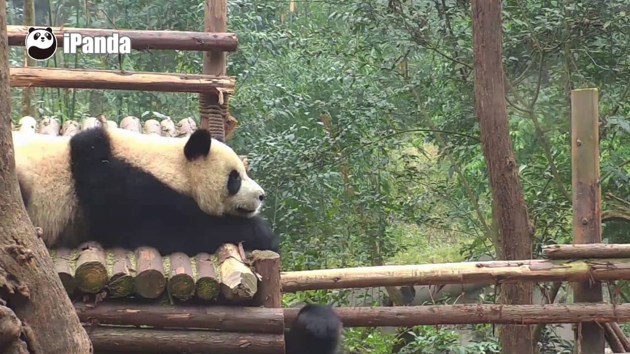 giant panda punches another panda hardly off the boxing ring youtube