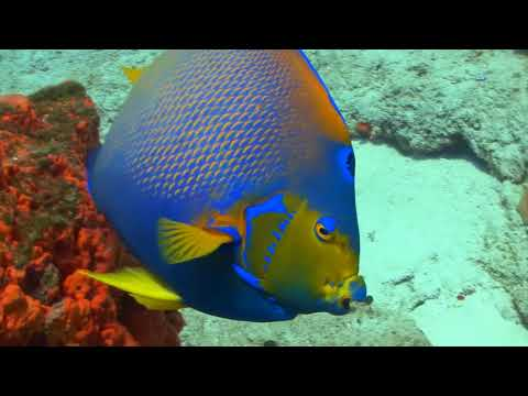 Hey Kids It's A Queen Angelfish!