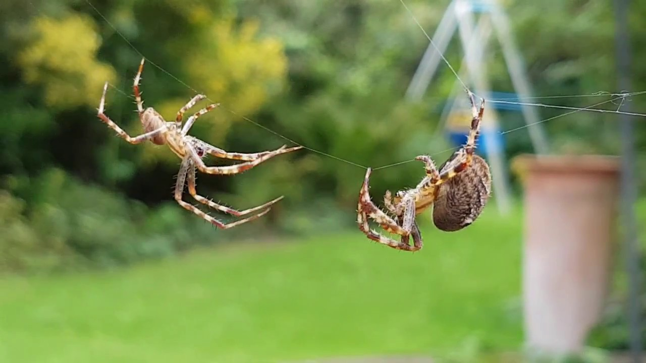 Large garden spiders mating ritual , Amazing!
