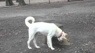 ドッグランで北朝鮮原産のプンサンケンと会えた。 日本の紀州犬に似てい...