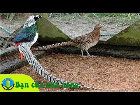 Làm giàu từ mô hình nuôi chim trĩ làm cảnh