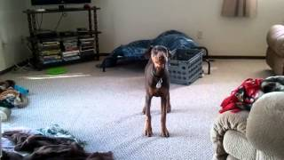 Doberman Pinscher Pup Runs Circles And Chases Tail