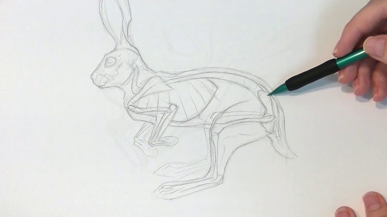 Drawing Animals: From Anatomy to Rendering : General Animal Anatomy ...