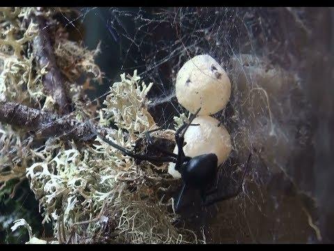 Black Widow Spider Egg Sack vs. False Widow Egg Sack; How to tell them apart