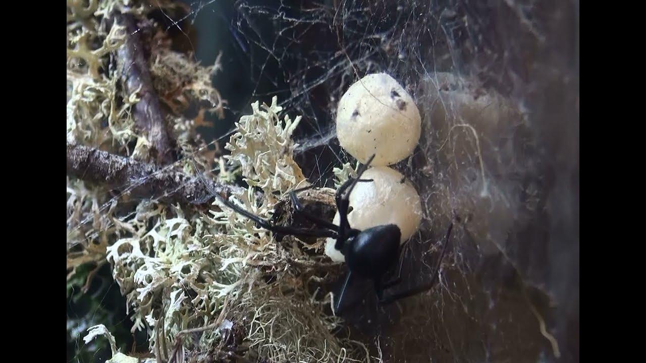 Black Widow Spider Egg Sack Vs False Widow Egg Sack How To Tell
