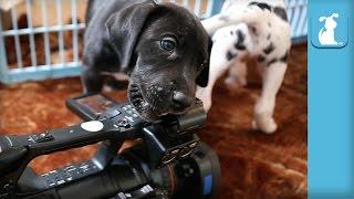 Cute Great Dane Puppies Love the Camera! - Puppy Love