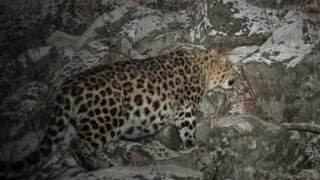 видео Новый леопард появился в Кедровой Пади