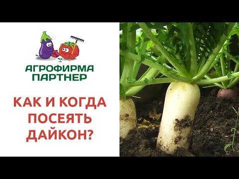 КАК И КОГДА ПОСЕЯТЬ ДАЙКОН? | выращивание | китайской | хранение | редькой | дайконе | дайкона | цезарь | редьки | дайкон | сроки