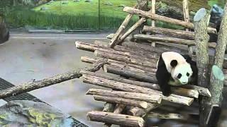 Toronto Zoo Giant Panda Surprised by Squirrel