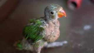 indian parrot sound,  green parrot voice