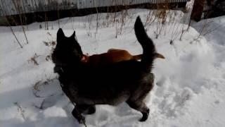 Канадская волчица на прогулке