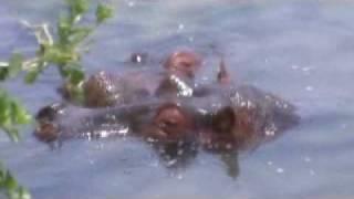 マラシンバロッジ周辺の川のカバさんたちです^^音量上げると鼻息が聞...