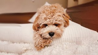 3 Reasons Why You Should NOT Get a Cavapoo/Poodle Mix