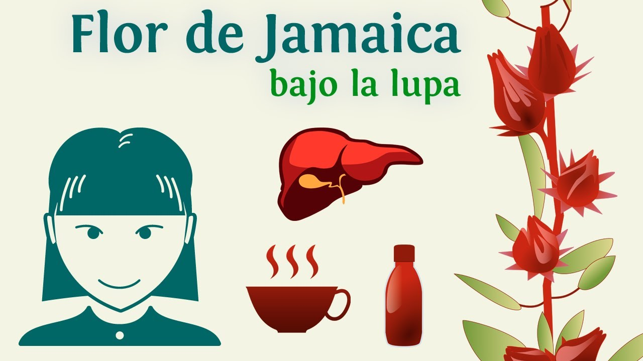 flor de jamaica sus propiedades medicinales