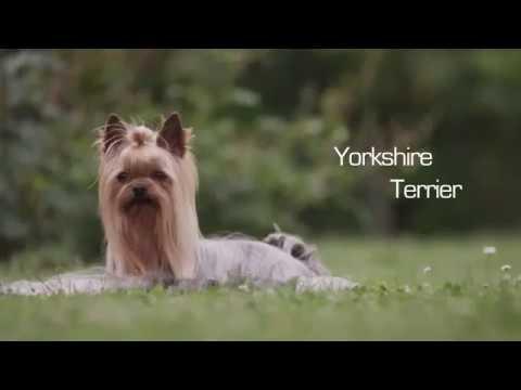 Yorkshire Terrier Consejos Y Cuidados 4patas Las Palmas Youtube