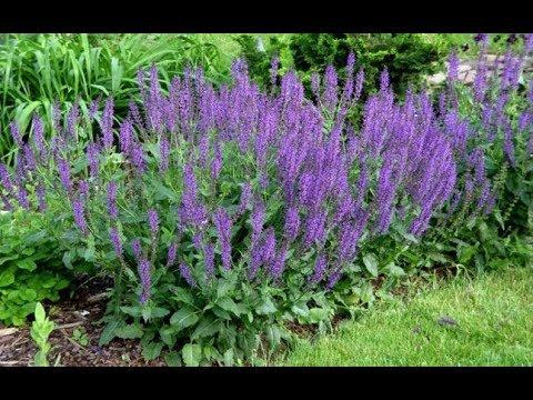 Salvia - Planta care aduce nemurirea (Agenda Ta de Sanatate)