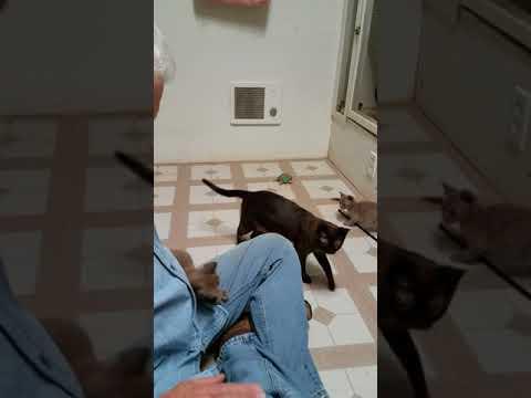 Lap cat training. Sarmicel Burmese