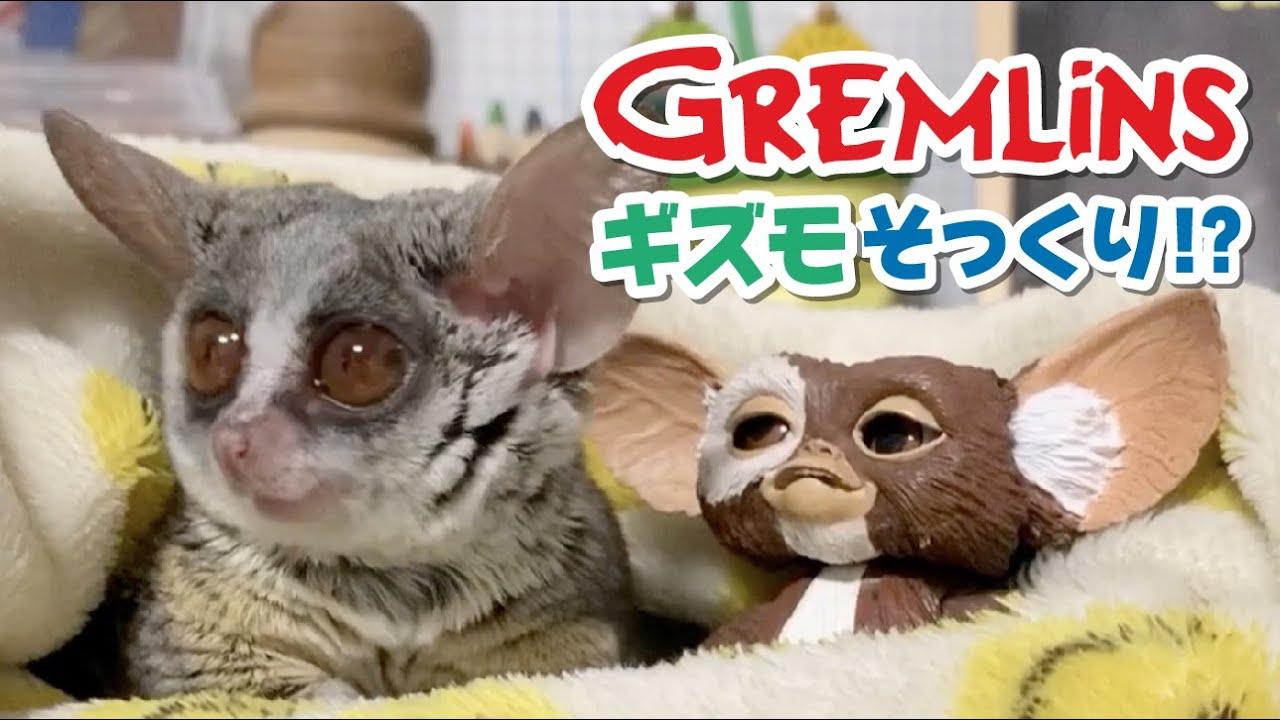 【グレムリンのギズモとそっくり!?】ショウガラゴのピザトル/Pizzatoru the Bushbaby Gremlins