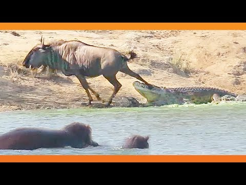 Thumbnail: Hippos Come to Rescue Wildebeest from Crocodile
