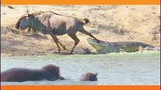 動物ってやっぱ奇想天外。ワニに襲われたヌーをカバが助ける瞬間が目撃される(南アフリカ)