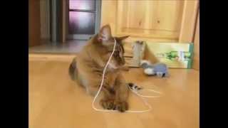 Сомалийская кошка - порода кошек