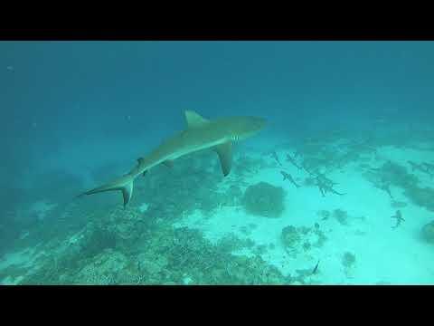 Palau The Kingdom of Sharks