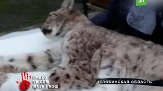 Могла умереть на трассе  Челябинские зоозащитники спасли от смерти рысь