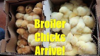Broiler Chicks Arrive