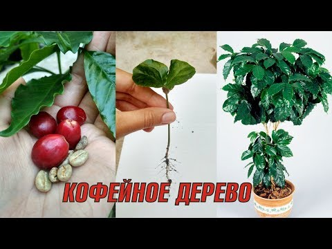 Как посадить кофейное зерно в домашних условиях