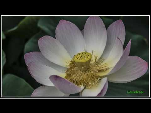 연(蓮)꽃의 의미