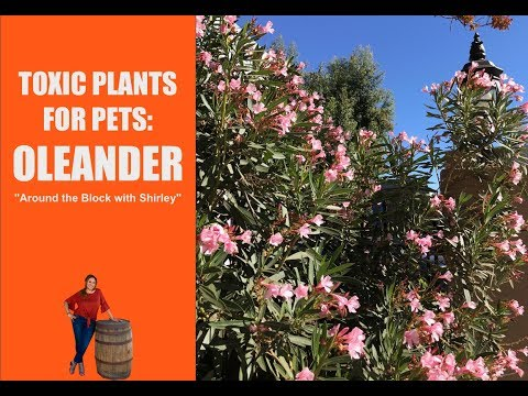 Oleander Plant : Toxic And Poisonous Plants For Pets: EdenMakers