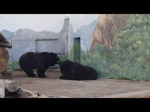 A pair of Asiatic black bears