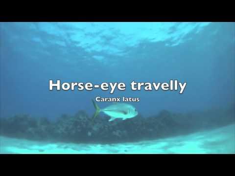 Horse-Eye Fish - Grand Cayman - Eden Rock