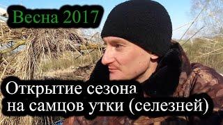 Охота на селезней утки весной 2017 с чучелами в Беларуси. Открытие сезона