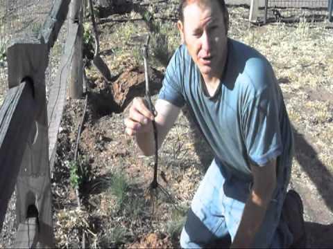 Bareroot Vs Container Planting Grape Vines Youtube