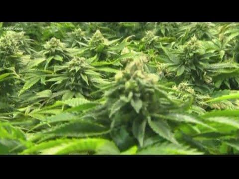 Marijuana use can affect fertility in men and women, doctors warn