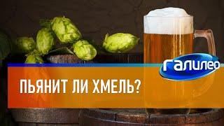 Галилео 🍺 Пьянит ли хмель?