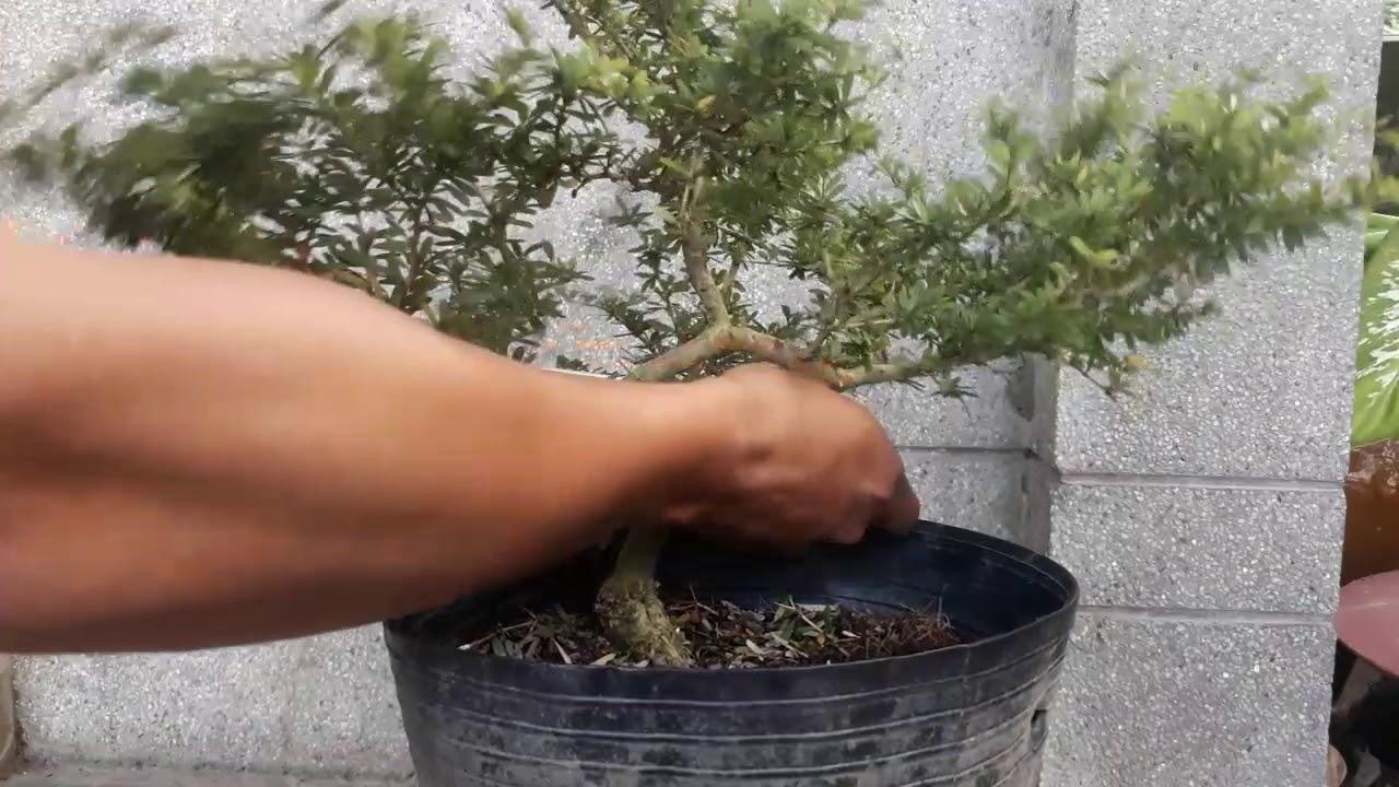 Hướng dẫn uốn cây linh sam. Bonsai linh sam.