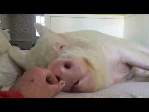 Lustiges Video: Schlafendes Schwein frisst ein Bonbon