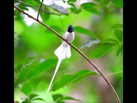 Kicau Burung Seriwang paradise...