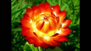 ГЕЛИХРИЗУМ ИЛИ БЕССМЕРТНИК — «ЗОЛОТО МАДАГАСКАРА»: ПОСАДКА, ВЫРАЩИВАНИЕ И УХОД В ОТКРЫТОМ ГРУНТЕ