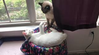 Life of Siamese Cat and Kitten Brother