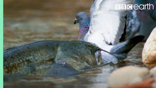 The Fish That Hunts Pigeons | Planet Earth II | BBC Earth