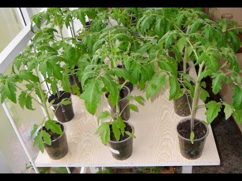 Как правильно сажать помидоры на рассаду в домашних условиях видео