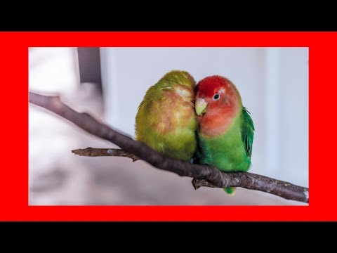 Relaxing Music For Birds (5 hrs) █ calming music for budgies parrots parakeets lovebirds cockatiels