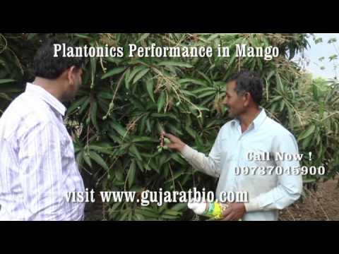 Organic Mango Talala Gir   Plantonics Organic Fertilizer   Gujarat Bio   आम की जैविक खेती