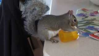 Atlas The Squirrel Testing A Child Proof Pill Bottle