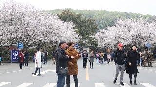 видео Праздник цветения сакуры в Китае